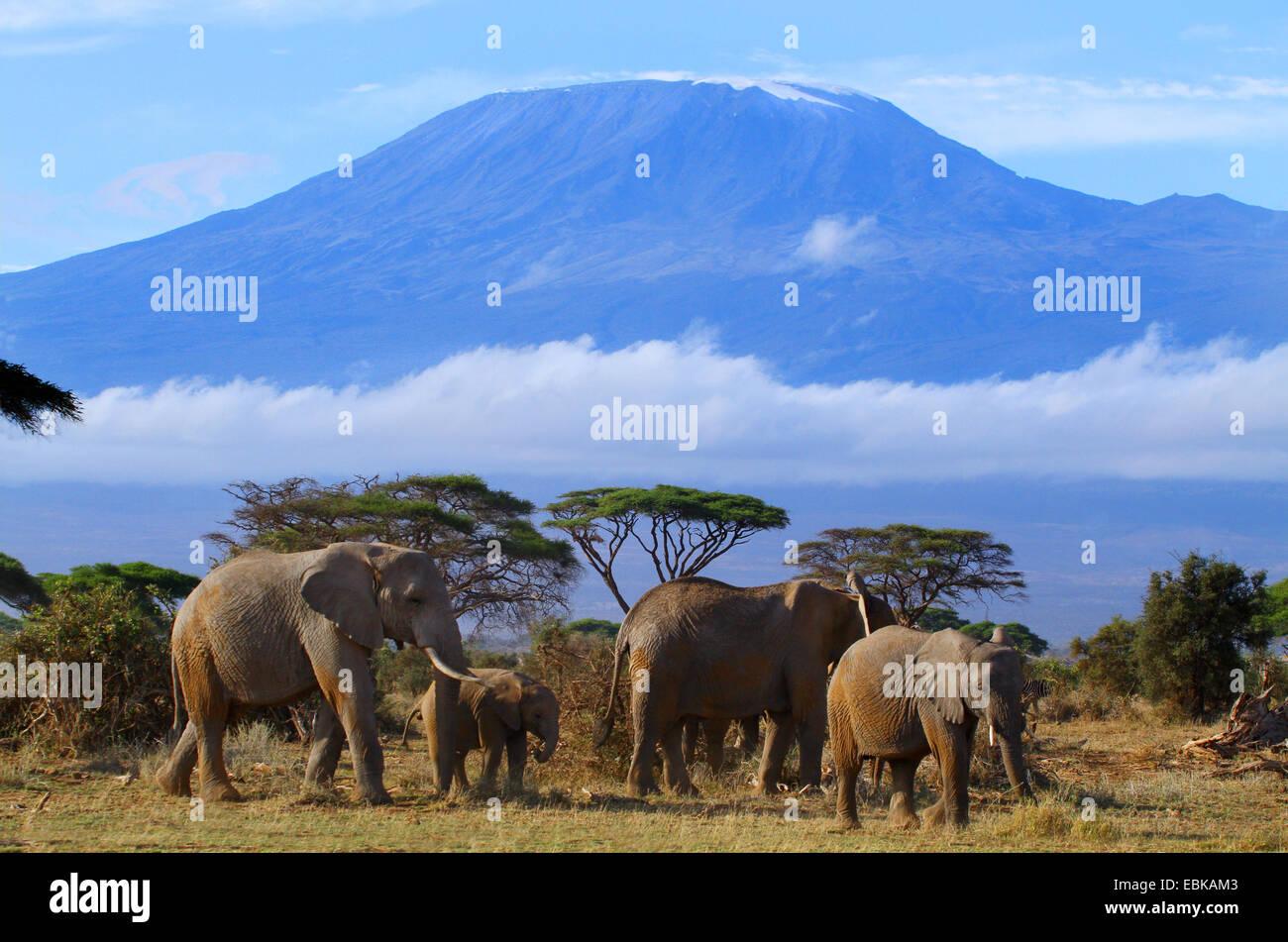 African elephant (Loxodonta africana), group in front of mount Kilimanjaro, Kenya, Amboseli National Park Stock Photo