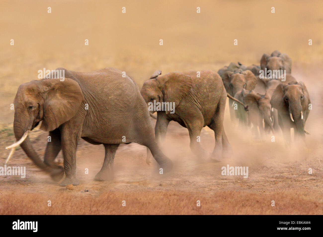 African elephant (Loxodonta africana), group walking quickly through the steppe and blowing up dust, Kenya, Amboseli - Stock Image