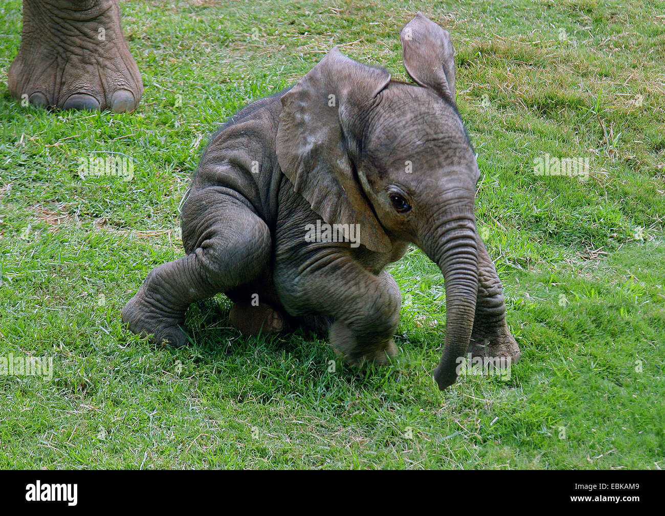 African elephant (Loxodonta africana), baby elephant in a meadow, Kenya, Amboseli National Park - Stock Image
