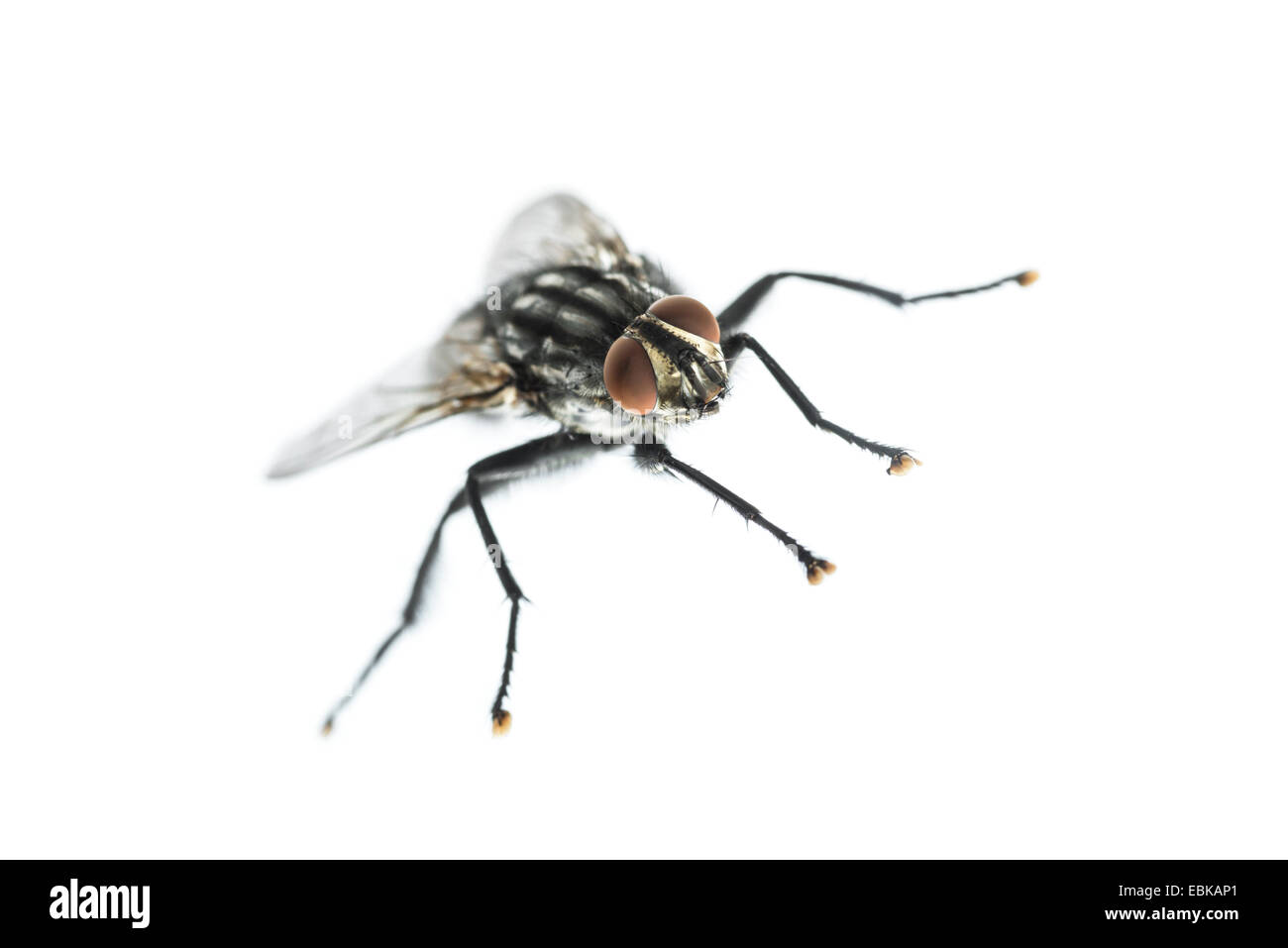Close-up of a common housefly against a white background - Stock Image