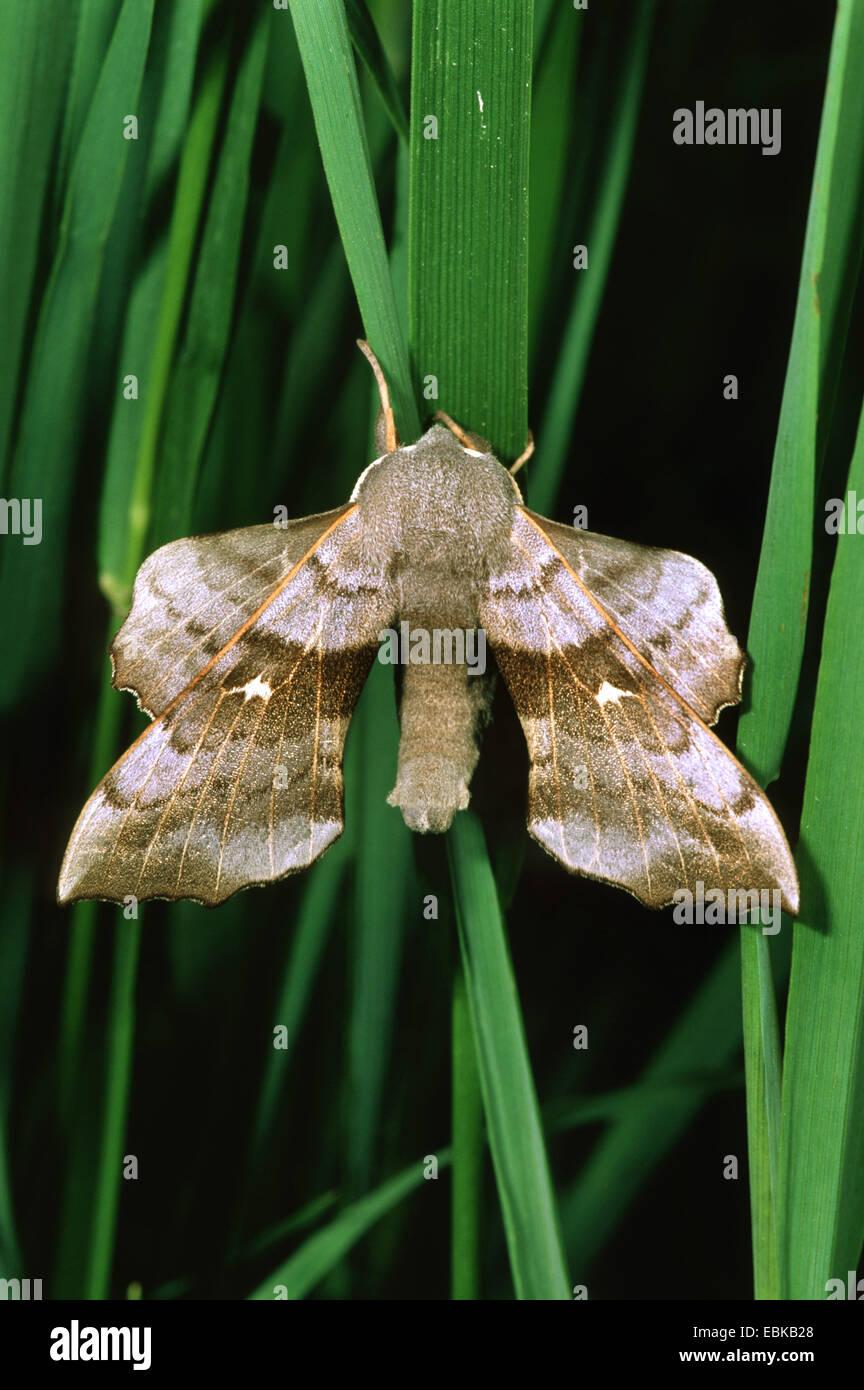 Poplar Hawkmoth (Laothoe populi), imago on blade of grass, Germany - Stock Image