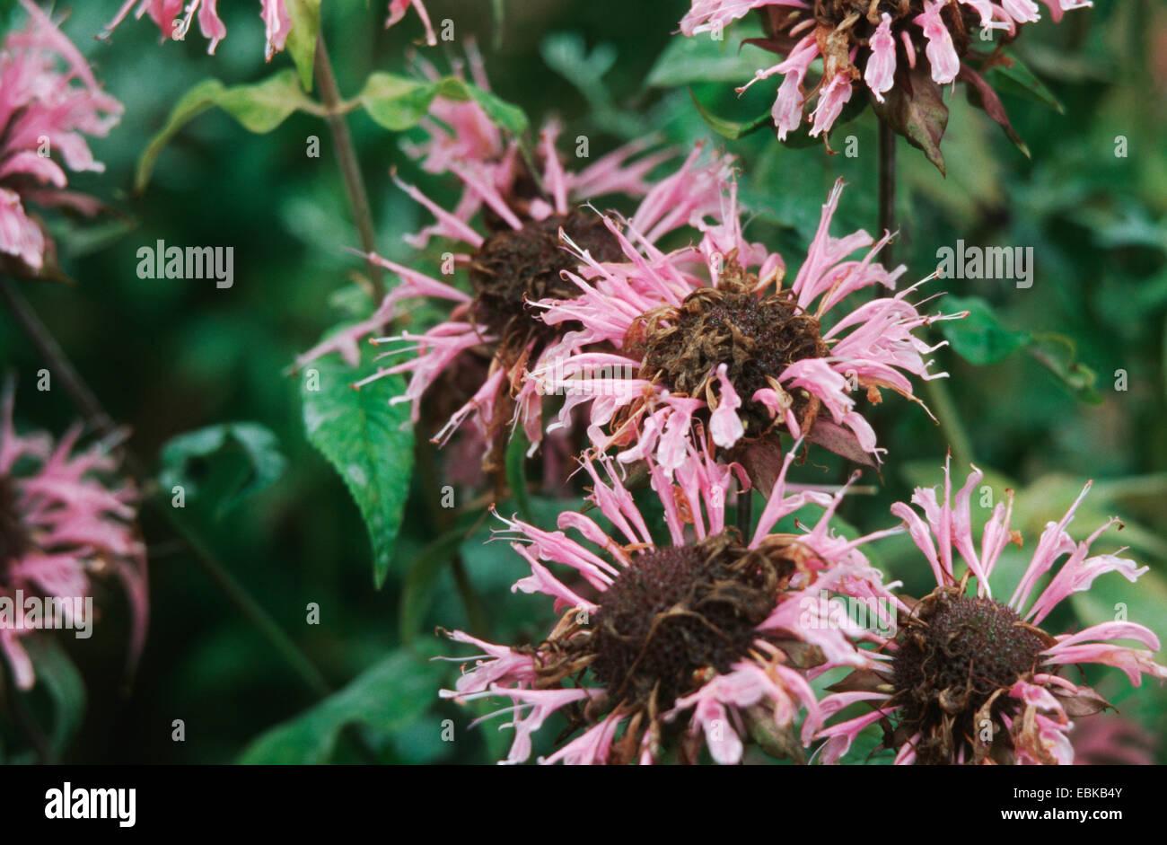 bee balm, oswego tea (Monarda didyma), blooming plants - Stock Image