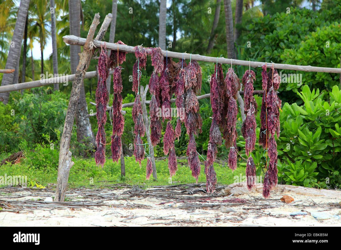 red seaweeds hanging up for drying on the beach of Zansibar, Tanzania, Sansibar - Stock Image