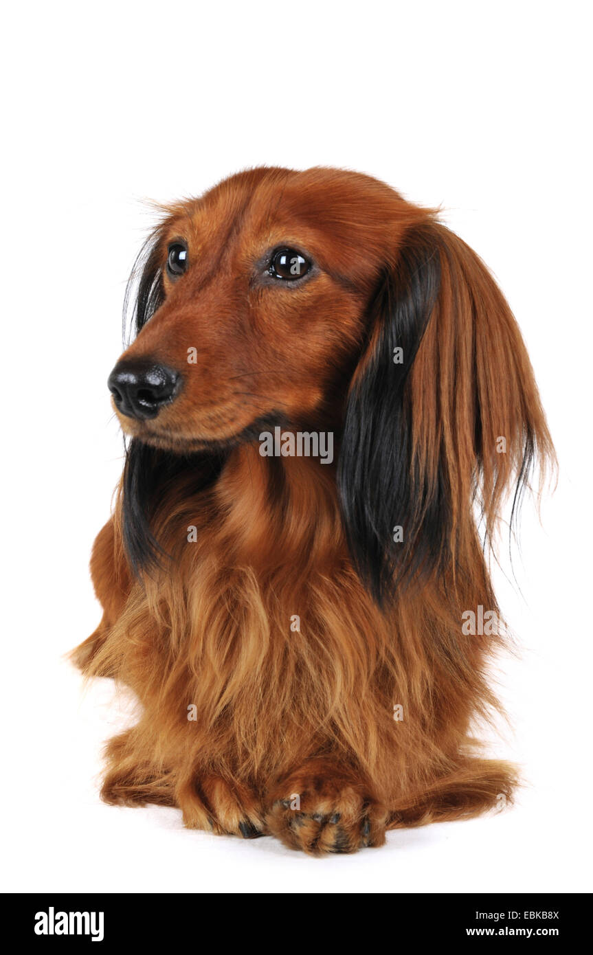 Long-haired Dachshund, Long-haired sausage dog, domestic dog (Canis lupus f. familiaris), lying, front view, Germany - Stock Image