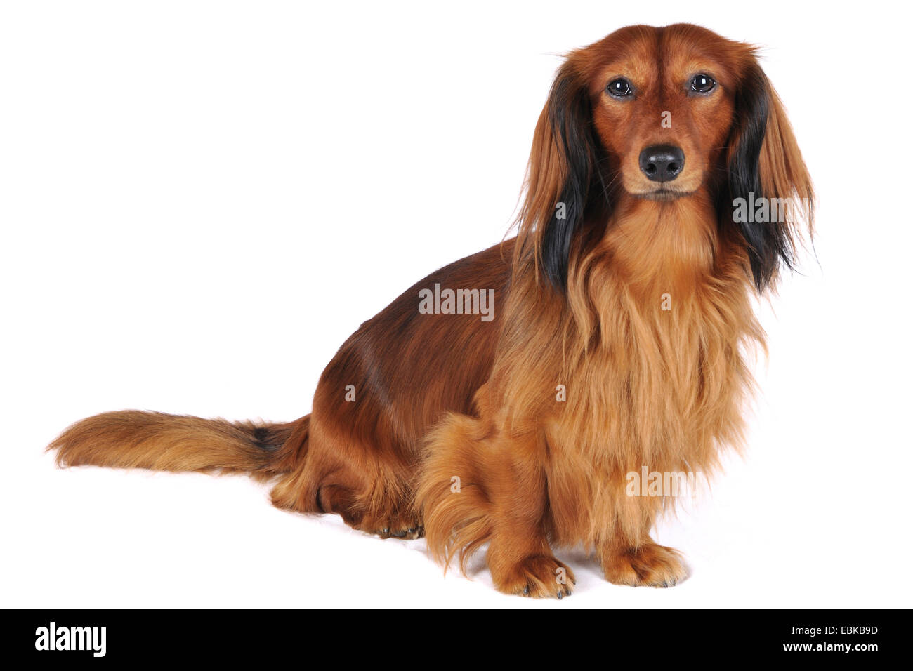 Long-haired Dachshund, Long-haired sausage dog, domestic dog (Canis lupus f. familiaris), full-length portrait, - Stock Image