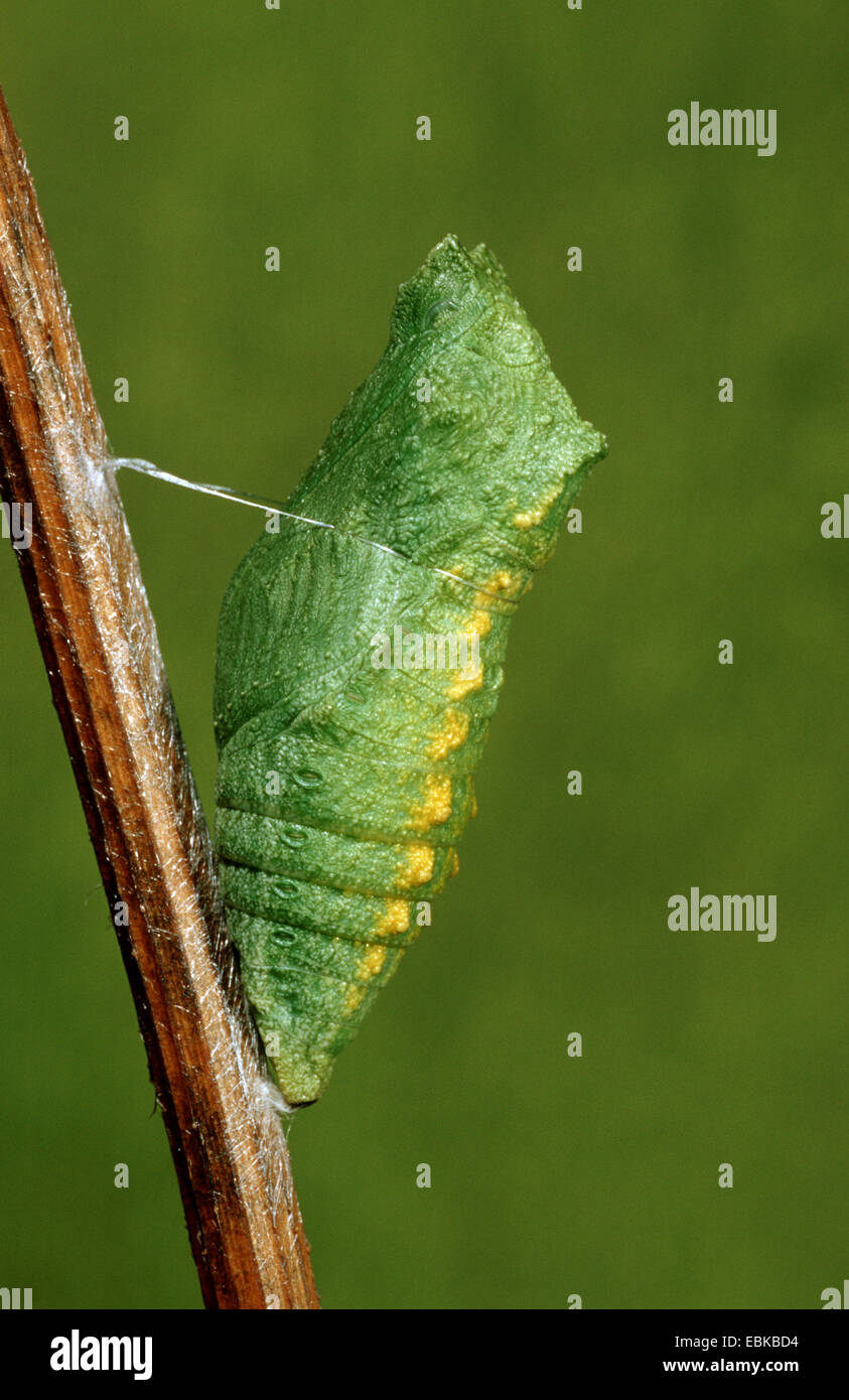 swallowtail (Papilio machaon), pupal stage at twig, Germany - Stock Image