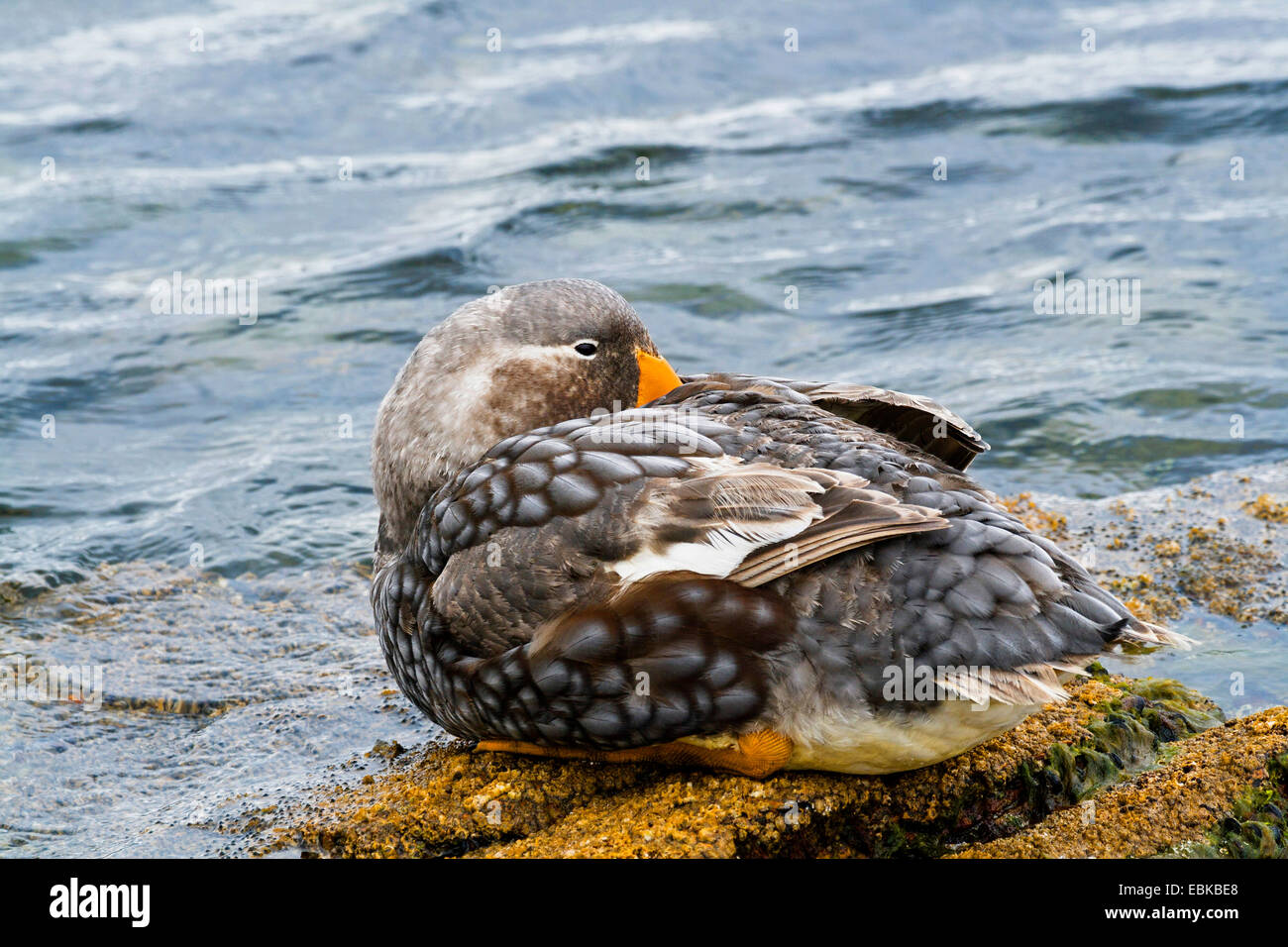 Flightless steamer duck (Tachyeres brachypterus), sitting at the beach with the beak in the plumage, Falkland Islands - Stock Image