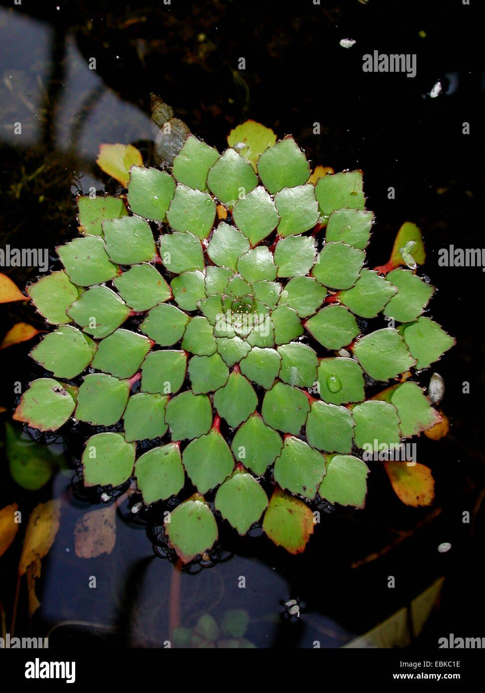 mosaic plant (Ludwigia sedoides) - Stock Image