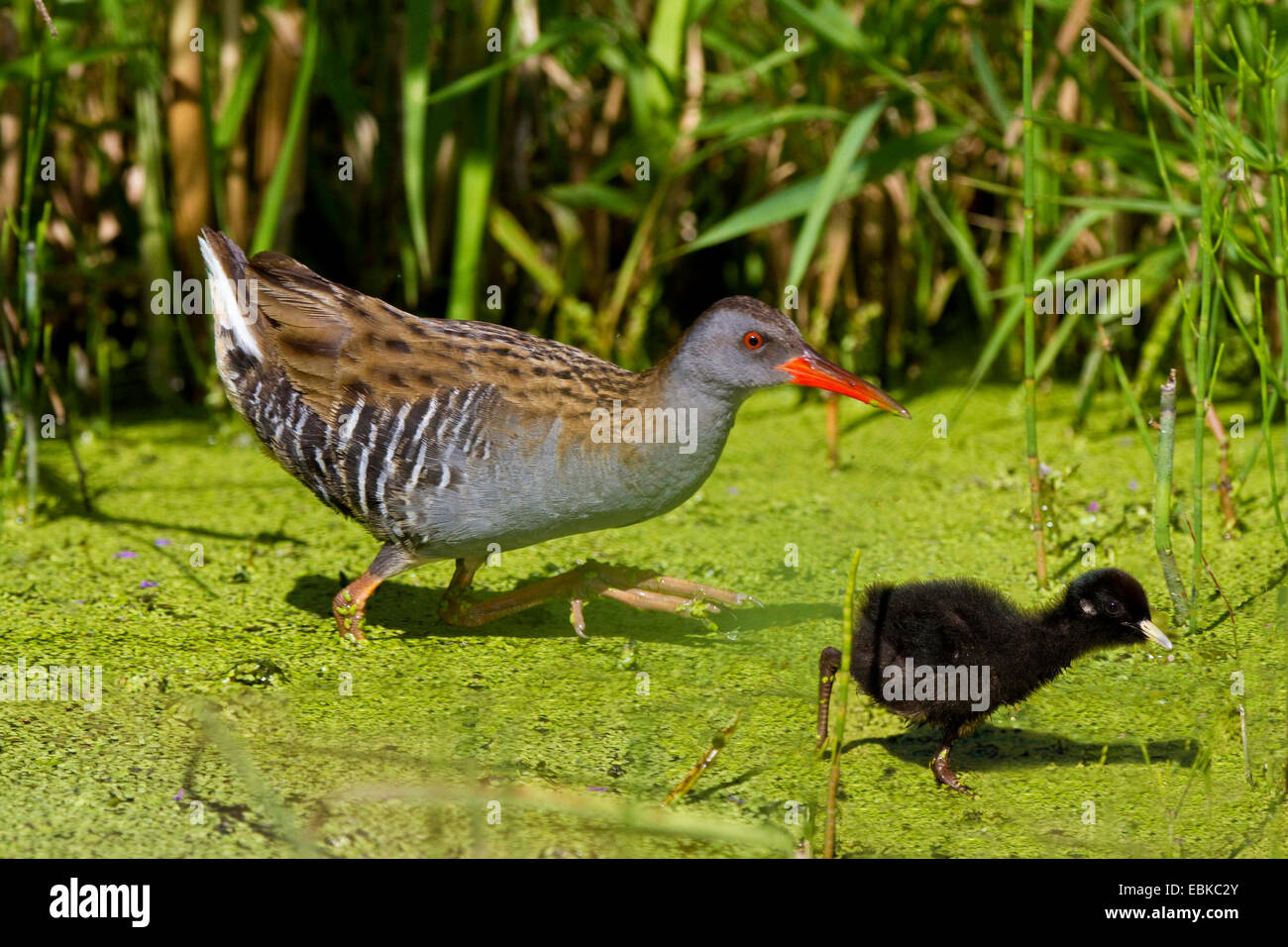water rail (Rallus aquaticus), adult with chick in shallow water, Germany, Bavaria - Stock Image
