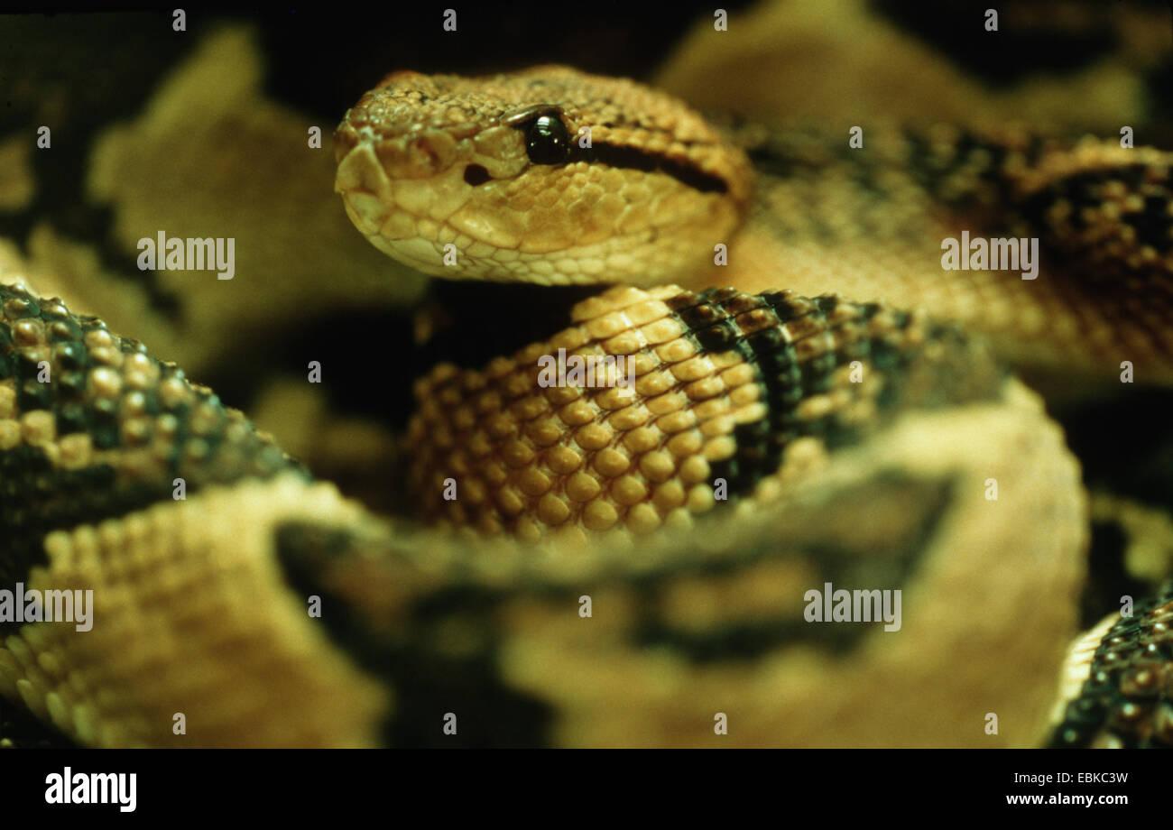 Bushmaster snake (Lachesis mutus, Lachesis muta, Lachesis muta muta), portrait - Stock Image