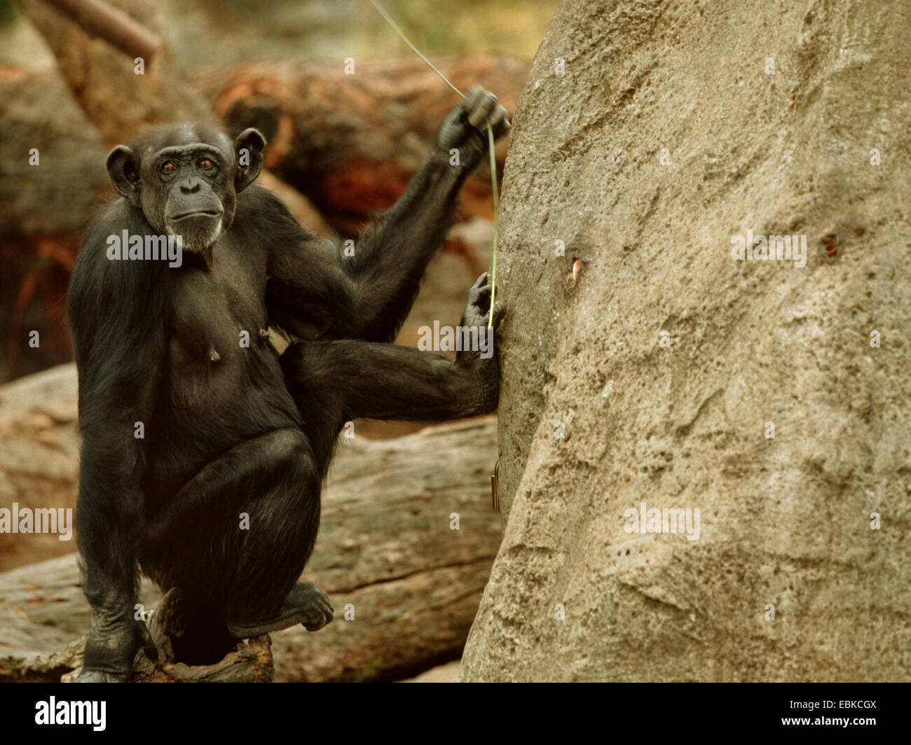 common chimpanzee (Pan troglodytes), Tool use by a chimpanzee, animal with wireat a artifical termite hill - Stock Image