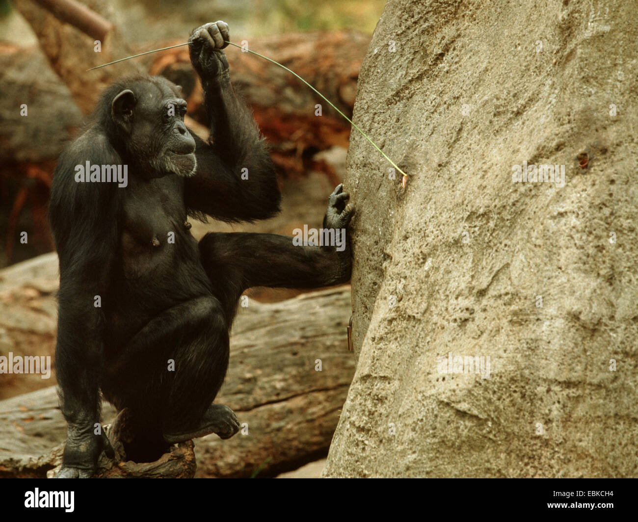 common chimpanzee (Pan troglodytes), Tool use by a chimpanzee, animal with wire at a artifical termite hill - Stock Image