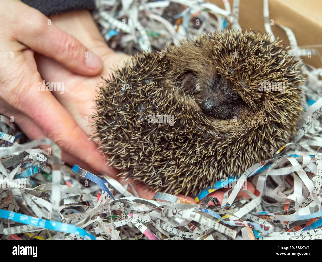 Simone Hartung places a small hedgehog into a box filled with strips of paper at the hedgehog ward in Neuzelle, - Stock Image