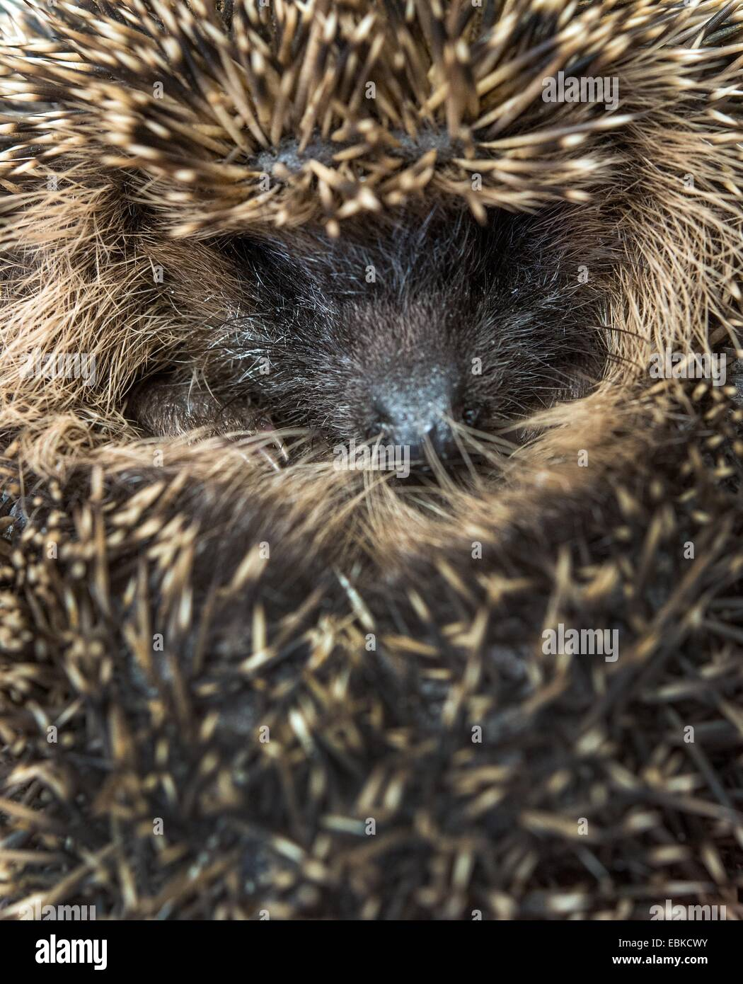 A small hedgehog at the hedgehog ward in Neuzelle, Germany, 02 December 2014. For five years Simone and Klaus Hartung - Stock Image