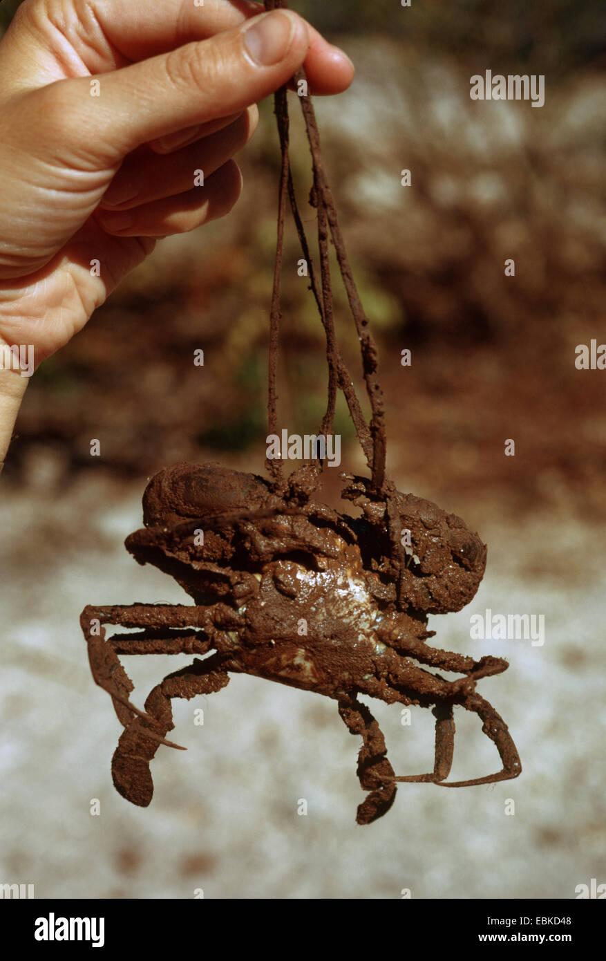 serrated mud swimming crab, serrated mangrove swimming crab, mud crab (Scylla serrata), economically important crab - Stock Image