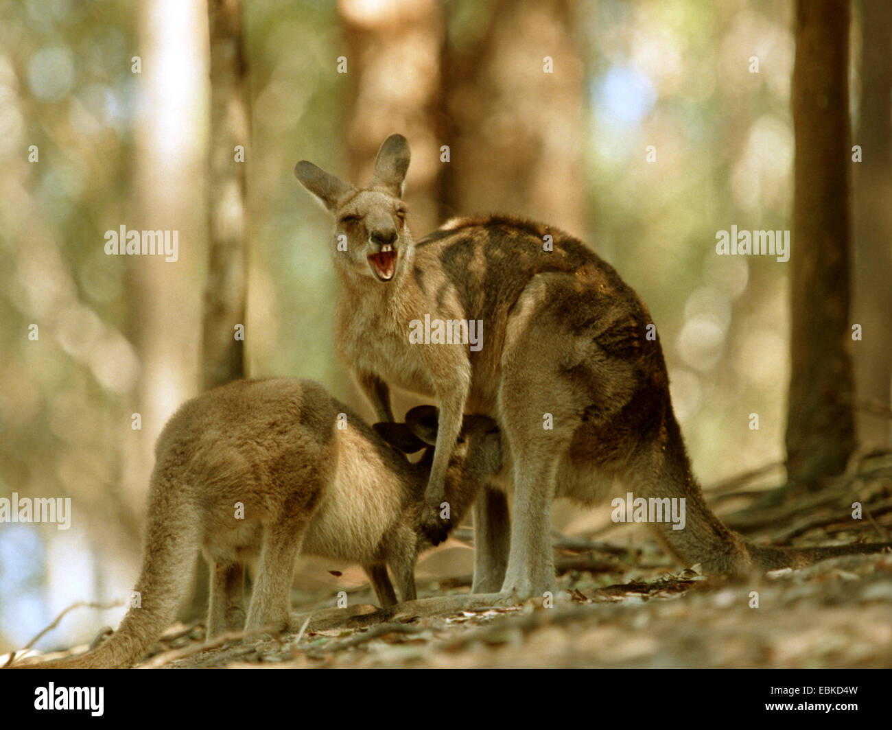 eastern gray kangaroo (Macropus giganteus), older pup suckling Stock Photo