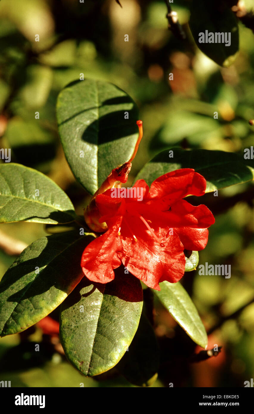 William's rhododendron (Rhododendron williamsianum), blooming branch Stock Photo