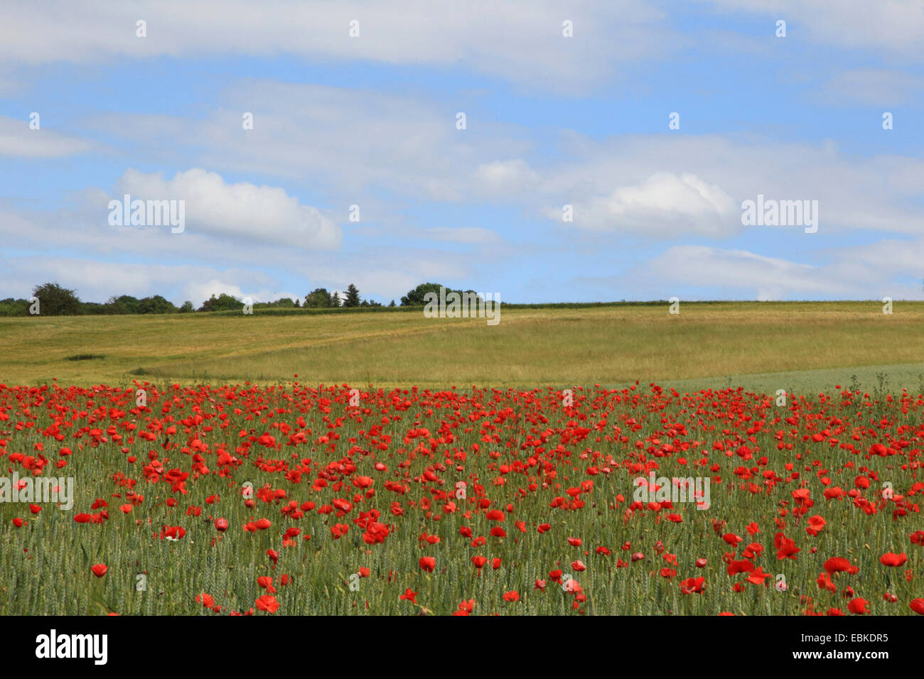 Common poppy, Corn poppy, Red poppy (Papaver rhoeas), cornfield with blooming poppy, Germany - Stock Image