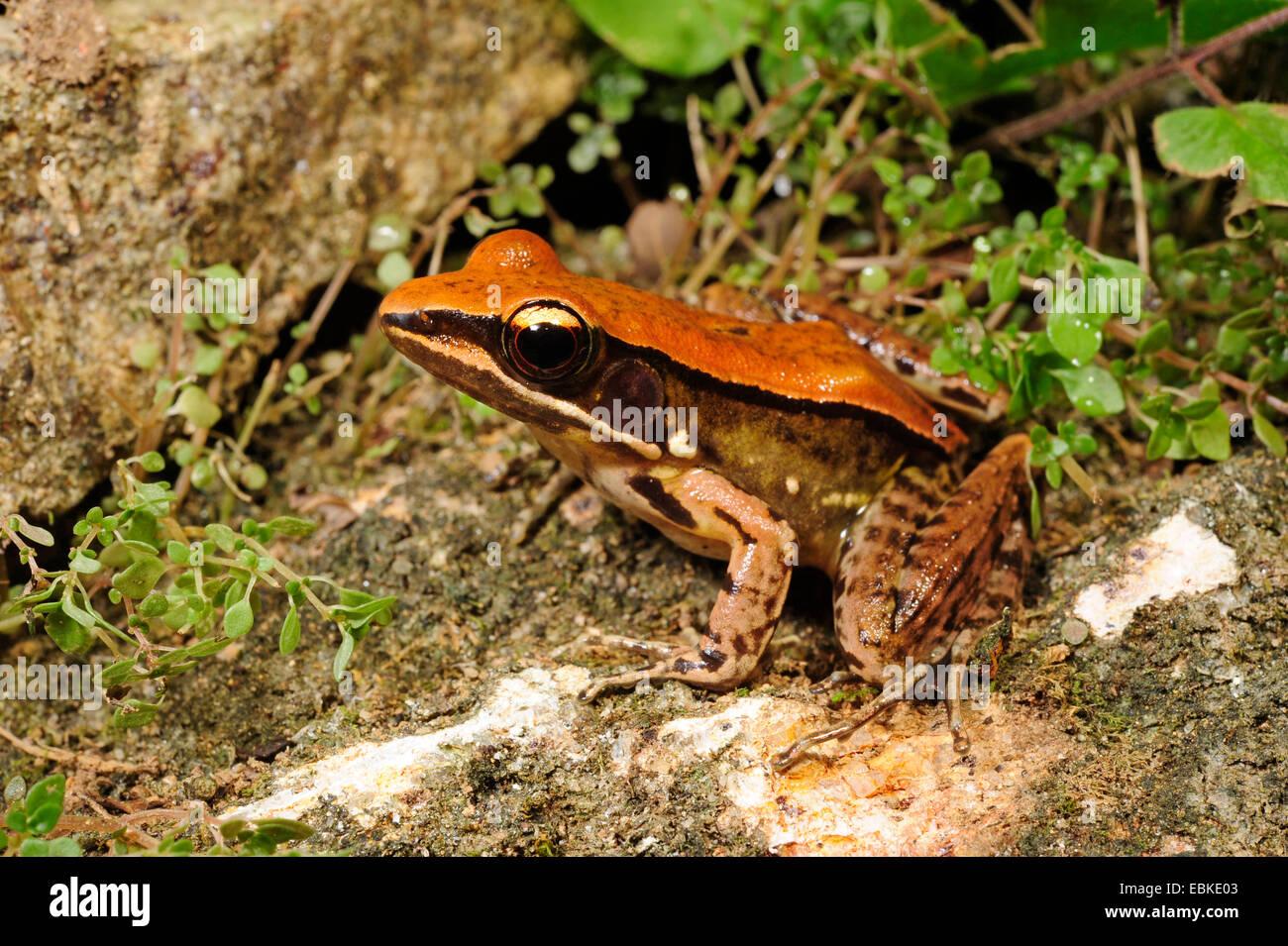 tropical frog species (Hylarana spec., Rana subgen. Hylarana), sitting on the forest ground, Sri Lanka, Sinharaja - Stock Image