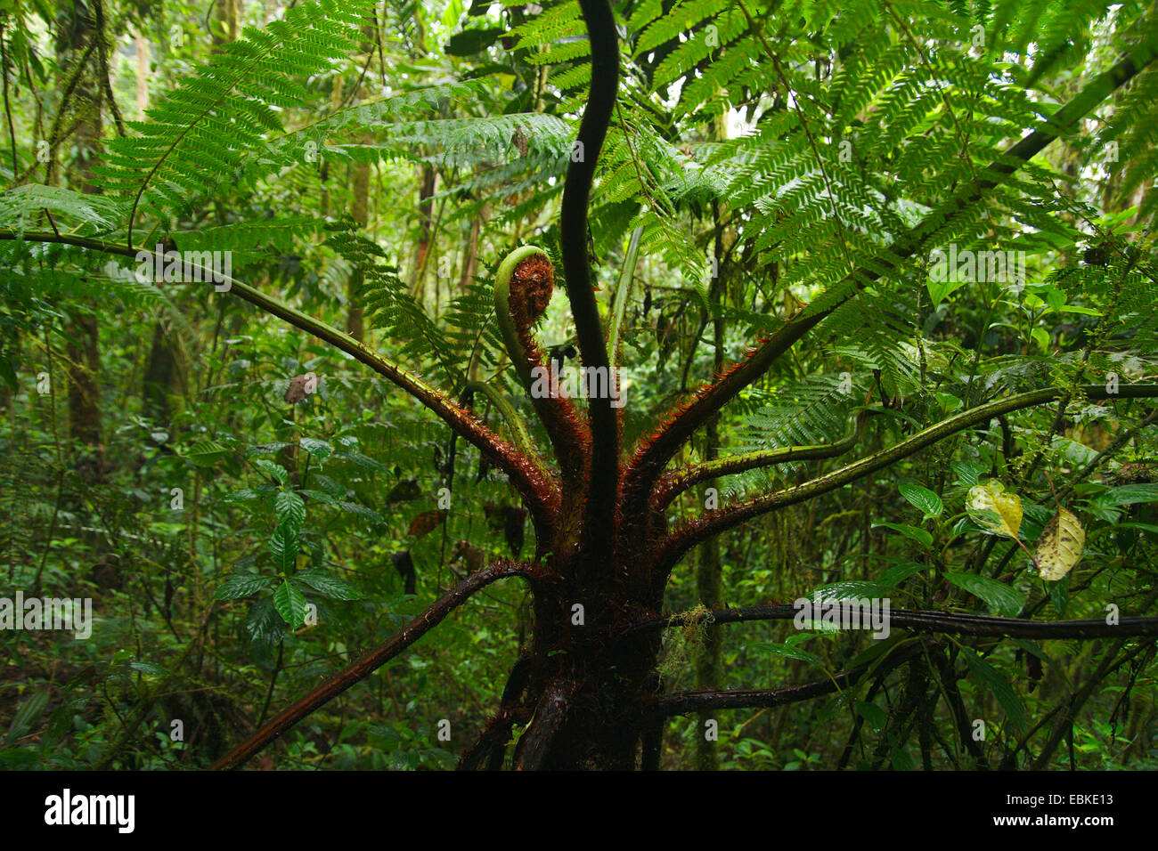 tree fern in cloud forest, Colombia, Parque Ucumari Stock Photo