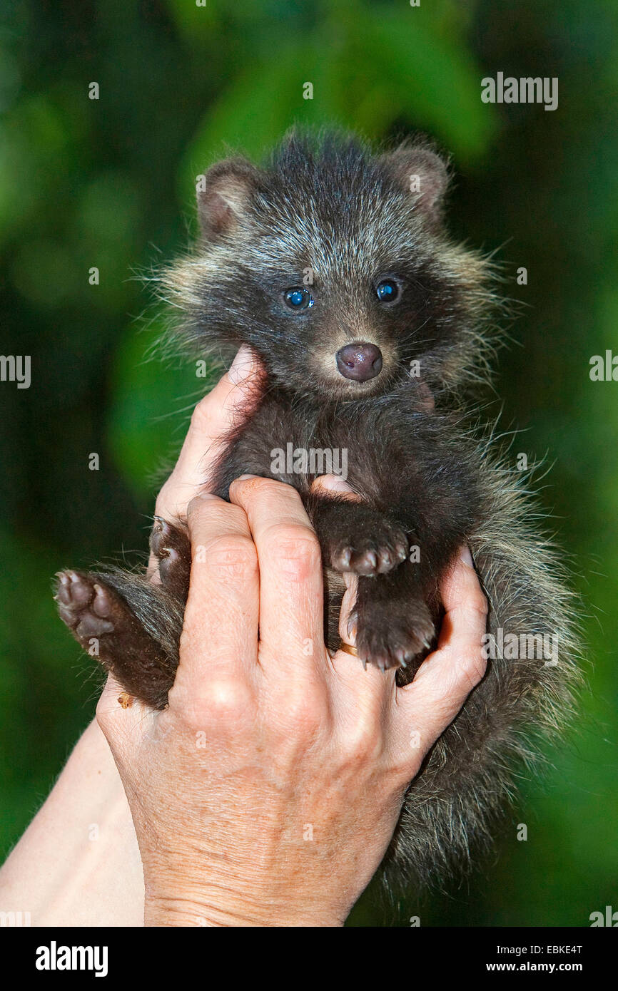 raccoon dog (Nyctereutes procyonoides), hand reared in the hand of his stockman, Germany - Stock Image