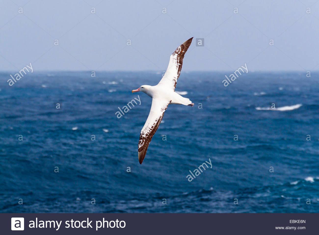 wandering albatros (Diomedea exulans), flying, Antarctica - Stock Image