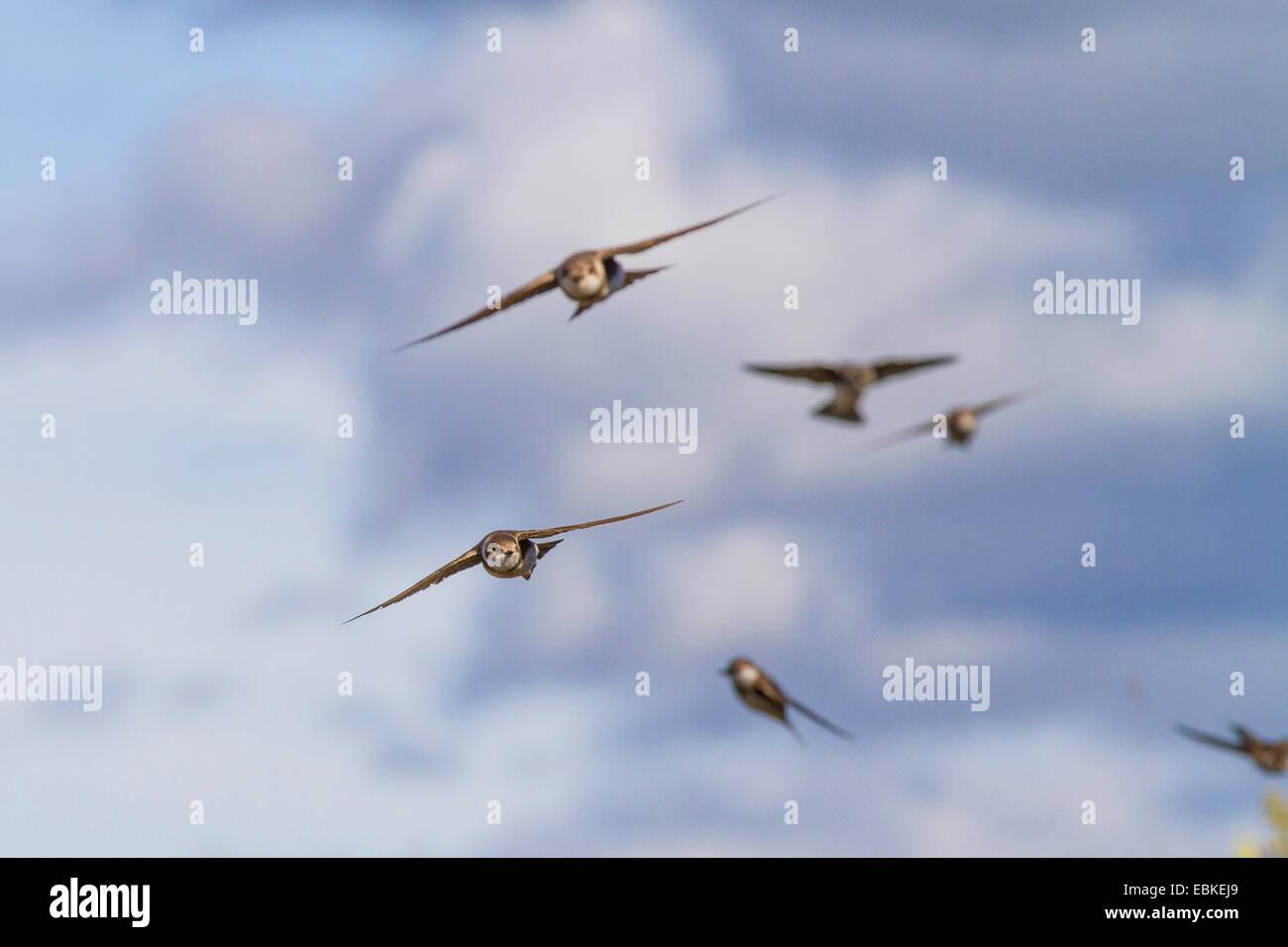 sand martin (Riparia riparia), sand martins flying, Russia, Varzuga - Stock Image