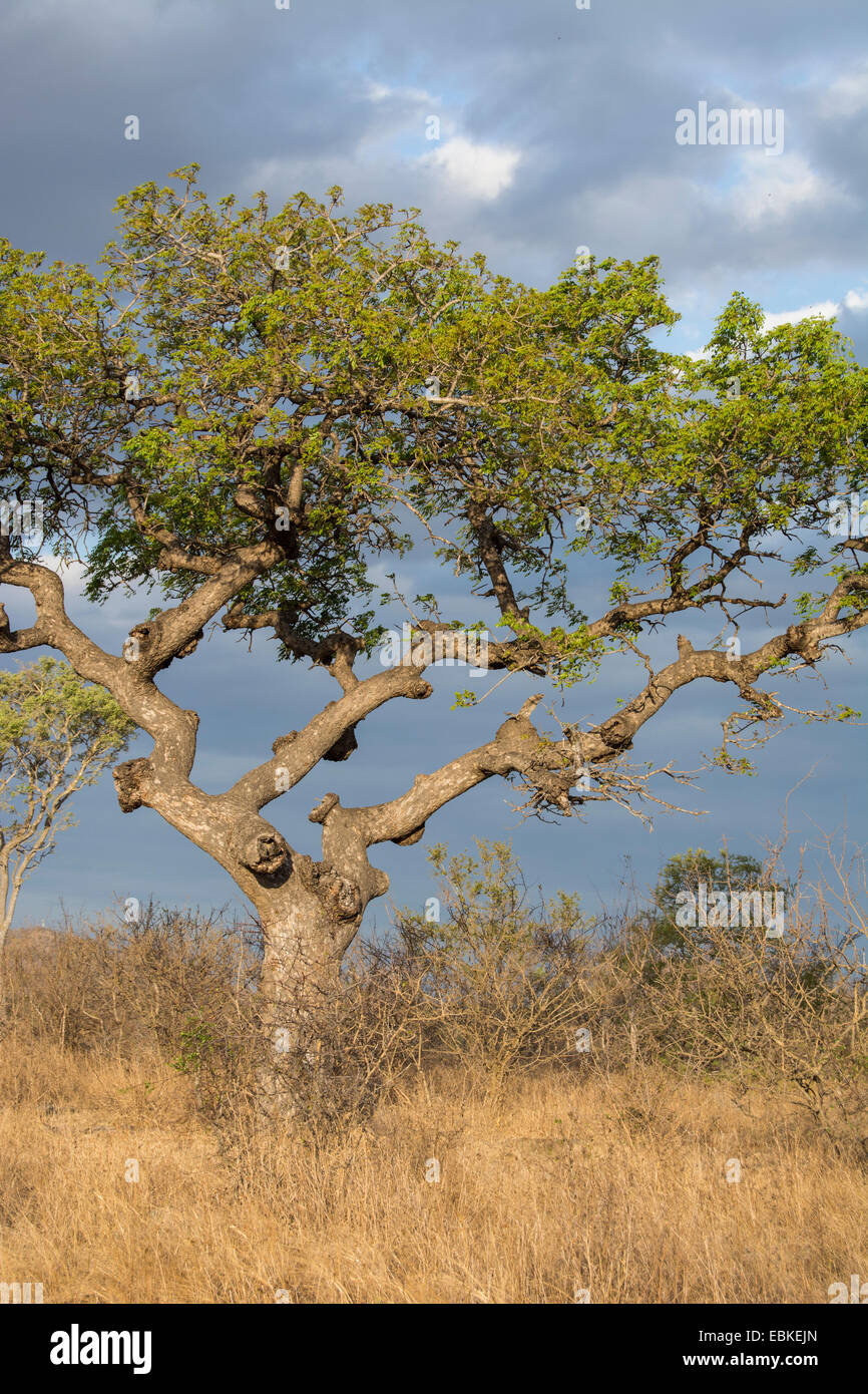 A marula tree against a stormy sky in the late afternoon - Stock Image