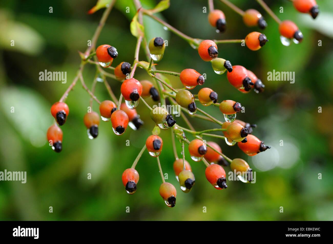 Japanese rose, multiflora rose, rambler rose (Rosa multiflora), fruits with rain drops - Stock Image