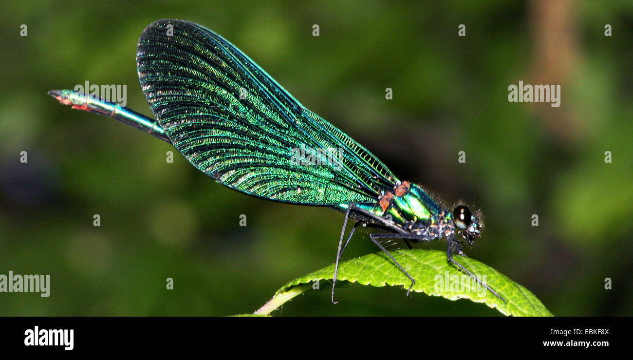 bluewing, demoiselle agrion (Calopteryx virgo), on a leaf, Germany Stock Photo