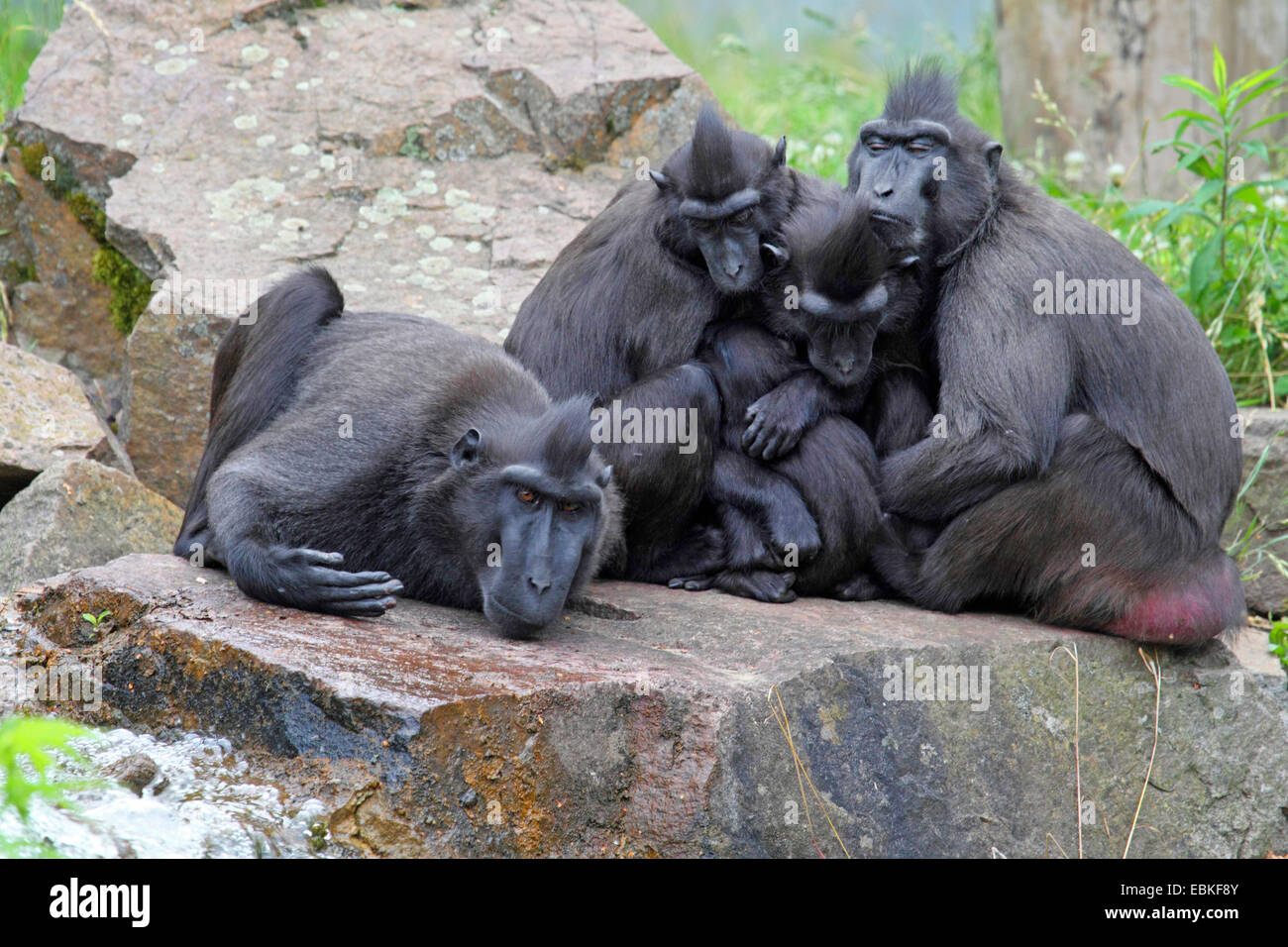 Celebes ape, Celebes black ape (Macaca nigra), group with physical contact - Stock Image