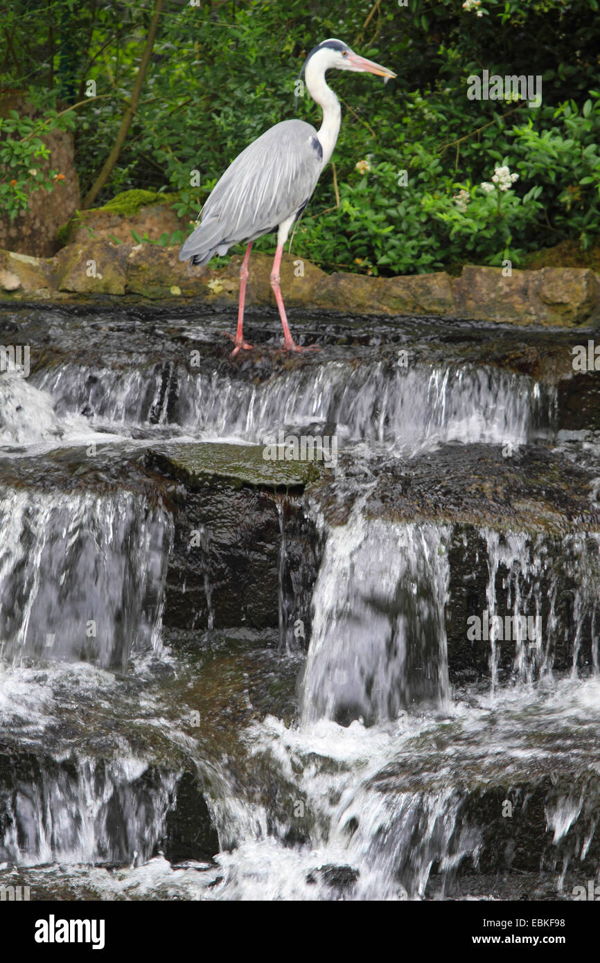 grey heron (Ardea cinerea), at waterfall, Germany - Stock Image