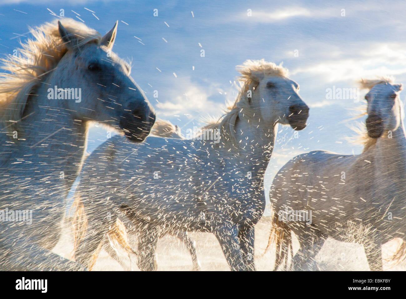 Horses running through a lake,  Camargue, France - Stock Image