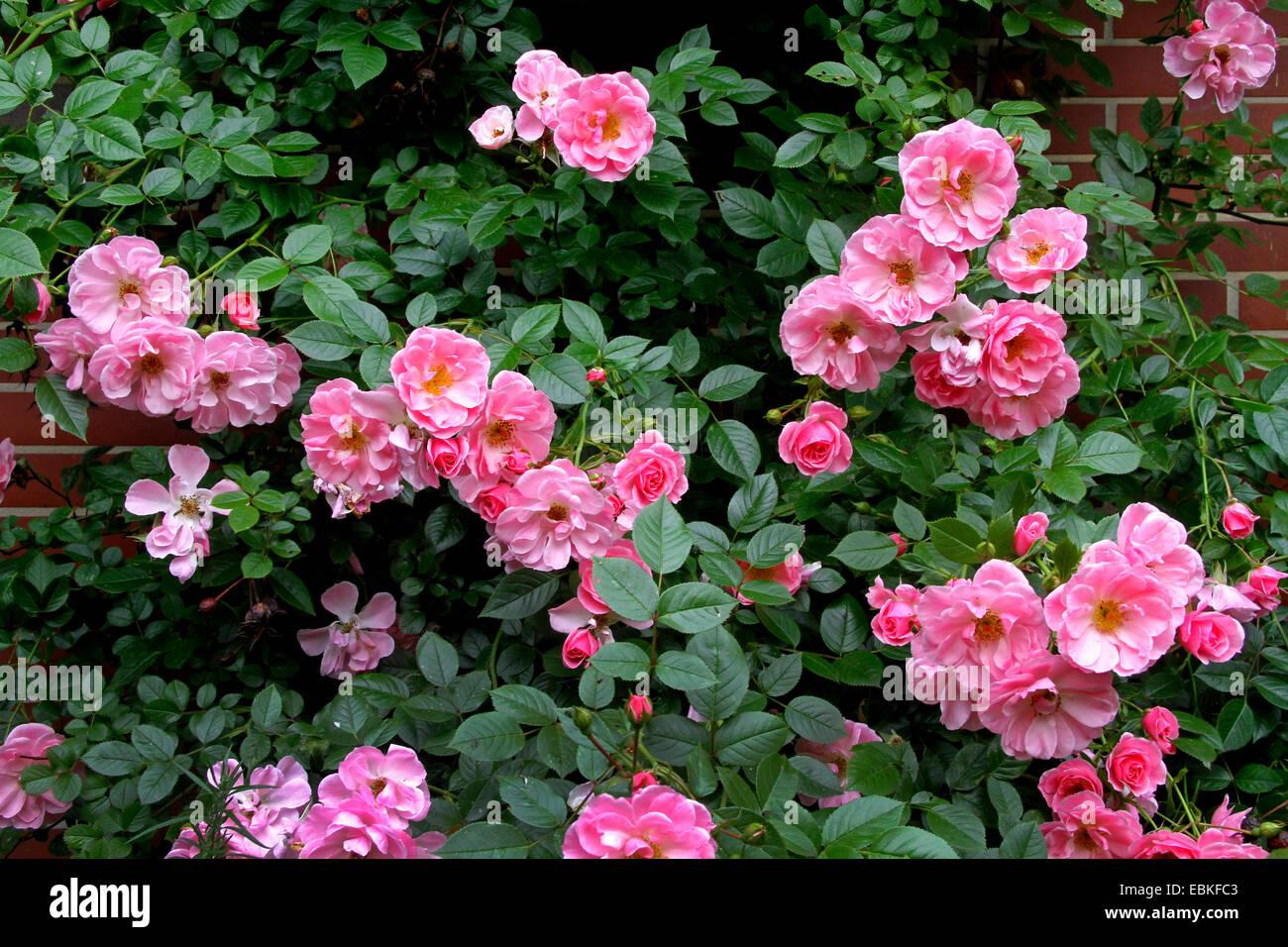 rambler rose on a cladding, Germany, North Rhine-Westphalia - Stock Image