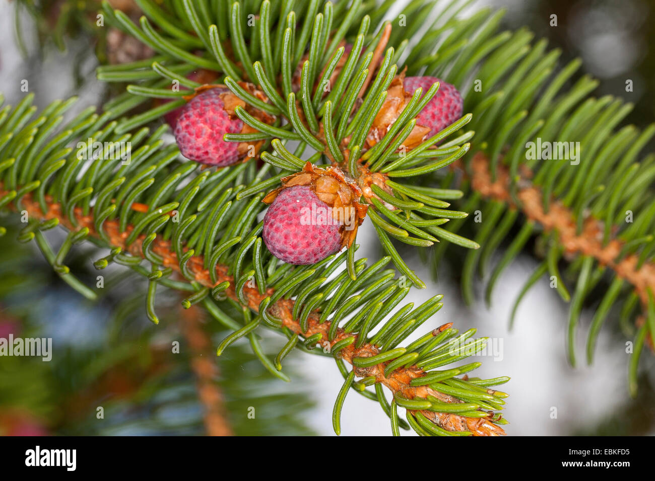 Norway spruce (Picea abies), branch with young cones, Germany - Stock Image