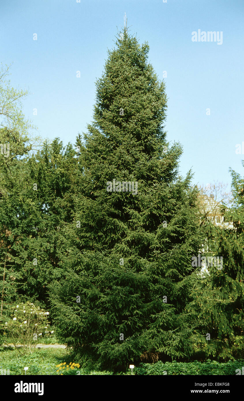 Likiang spruce, Lijiang spruce (Picea likiangensis), single tree in a park - Stock Image