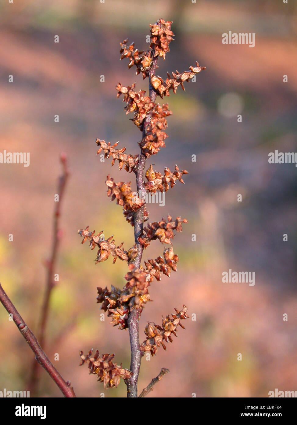 bog myrtle, sweet gale, sweet bayberry (Myrica gale), infructescence, Germany - Stock Image