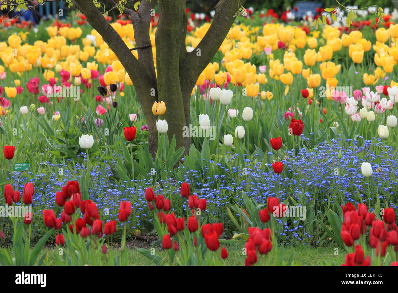common garden tulip tulipa gesneriana park with different sorts of tulips and wood forget me not germany - Tulip Garden Near Me