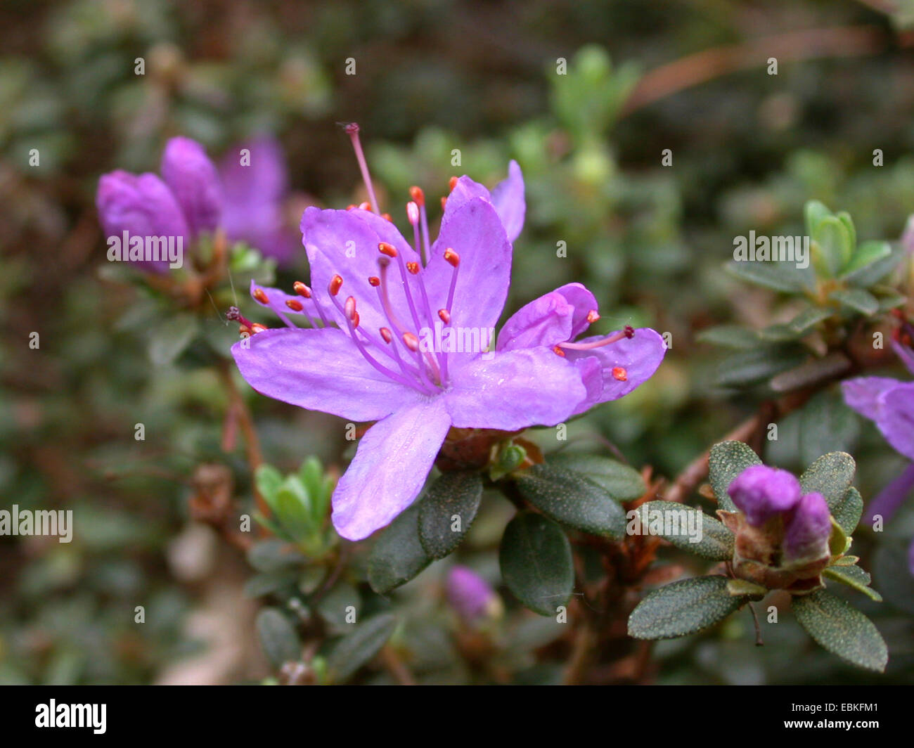 Rhododendron (Rhododendron impeditum), flower - Stock Image