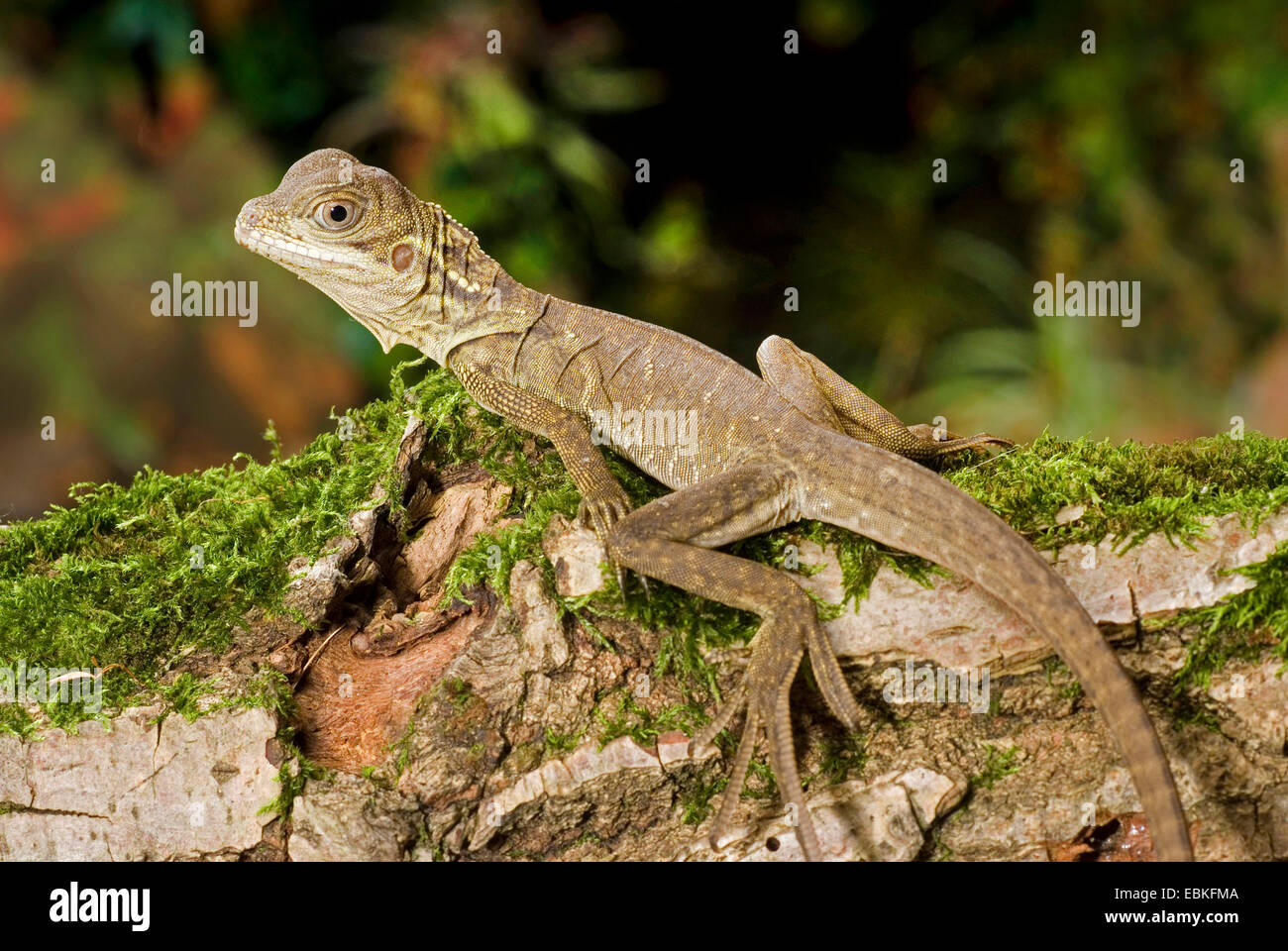 Weber's sail-fin lizard, Webers sail-fin dragon, green sail-fin dragon, soa soa (Hydrosaurus weberi), on mossy branch Stock Photo