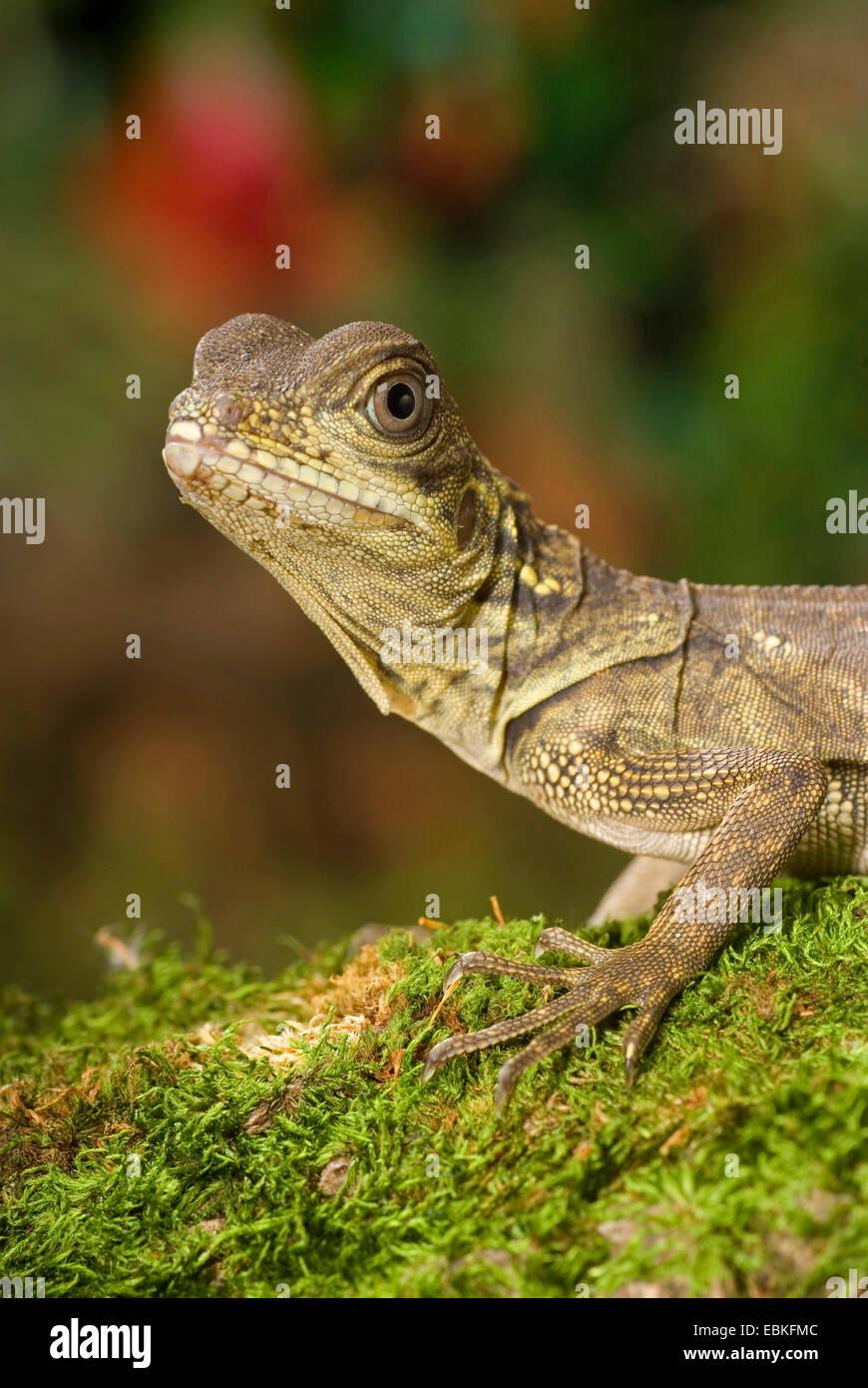 Weber's sail-fin lizard, Webers sail-fin dragon, green sail-fin dragon, soa soa (Hydrosaurus weberi), portrait - Stock Image