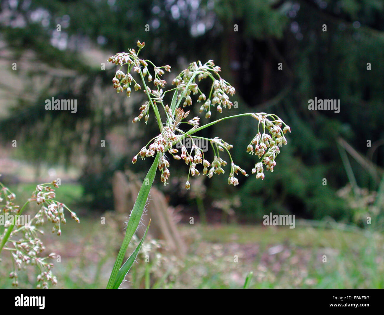 great wood-rush (Luzula sylvatica), inflorescence, Germany - Stock Image