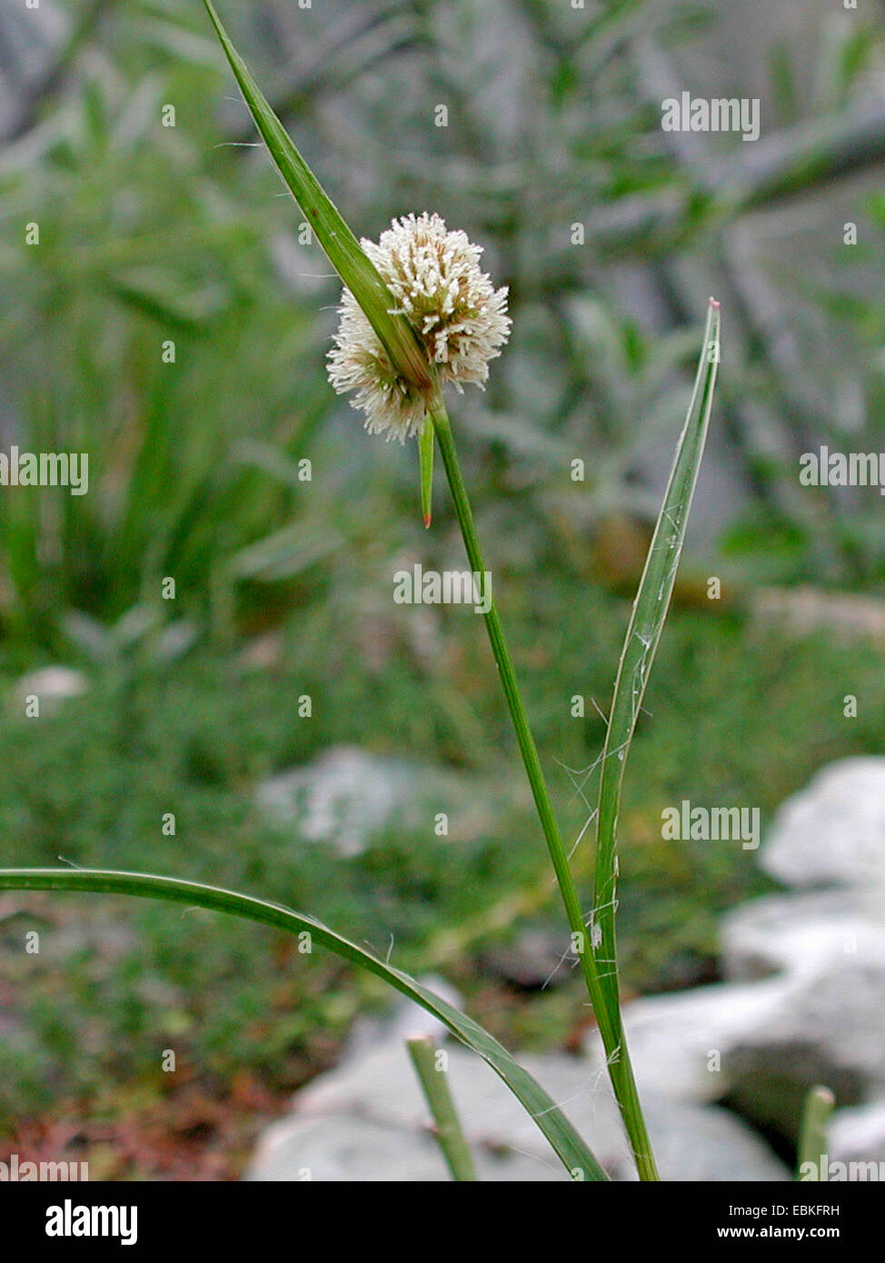 Luzula rufa (Luzula rufa), blooming - Stock Image