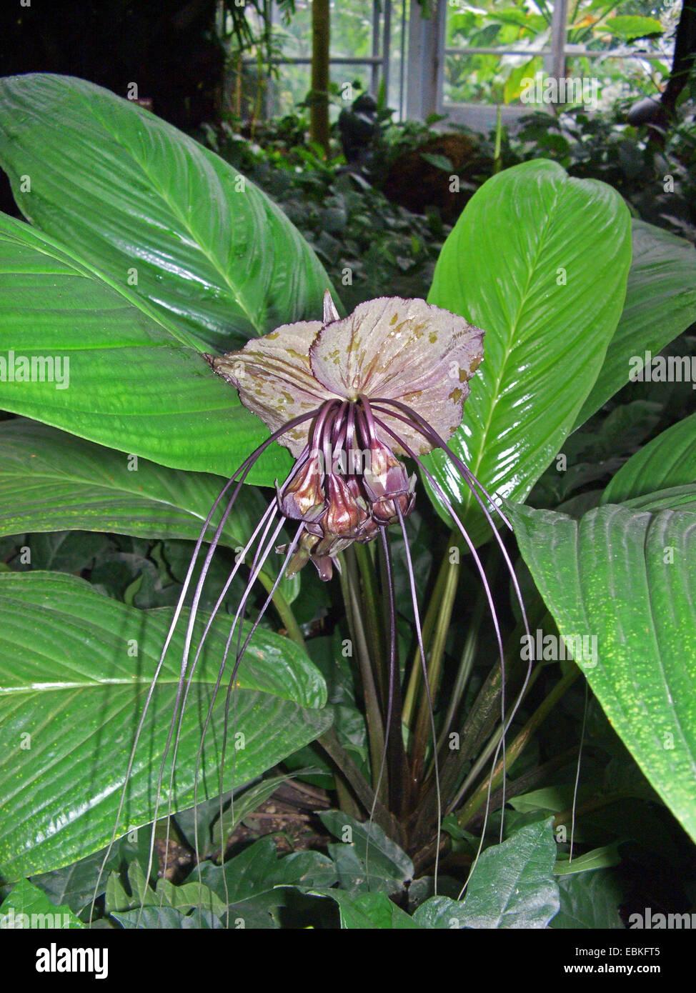 bat plant (Tacca chantrieri), flower - Stock Image