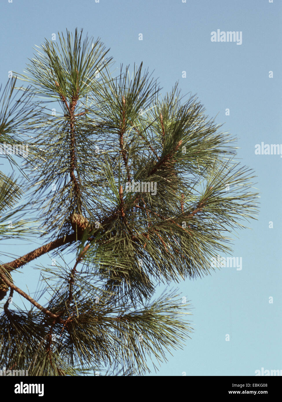 maritime pine (Pinus pinaster), branches - Stock Image