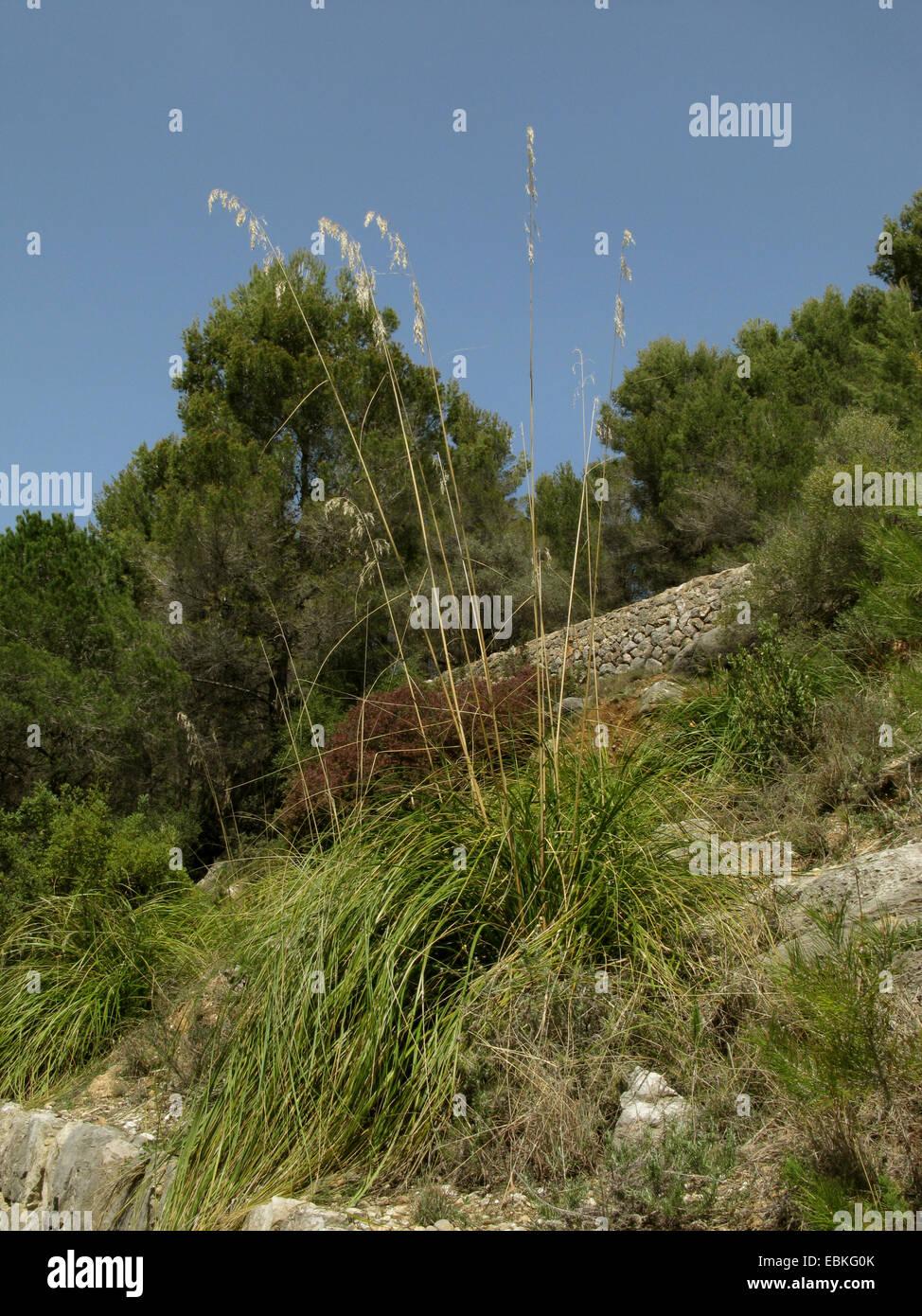 Stramma, Mauritania grass, Rope grass, Dis grass (Ampelodesmos mauritanicus), blooming, Spain, Balearen, Majorca - Stock Image
