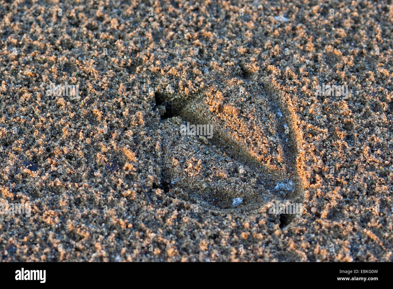 single  footprint of a duck in the mud, Germany - Stock Image