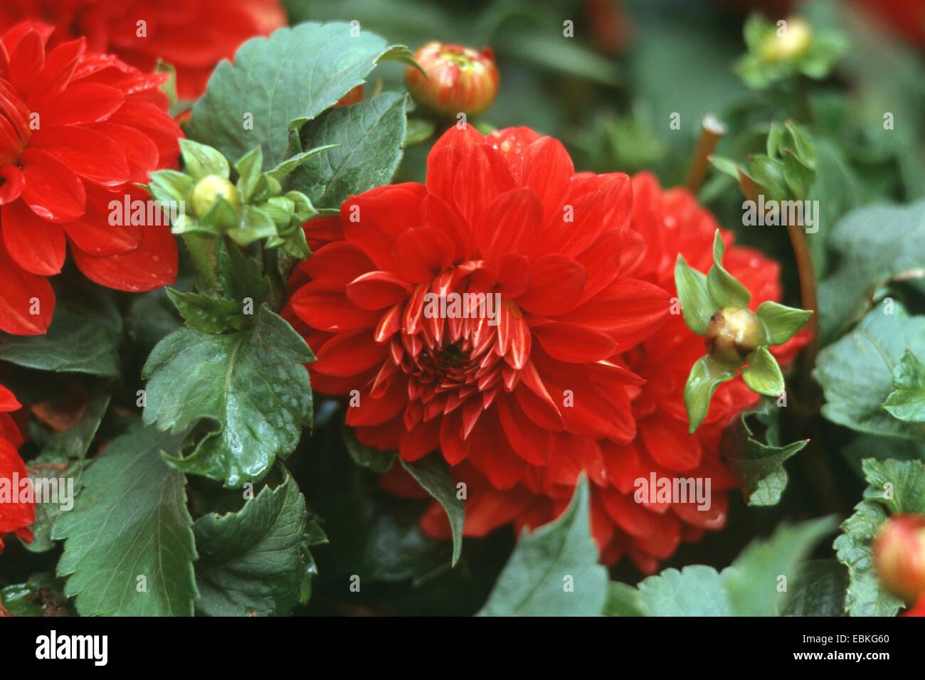 georgina (Dahlia 'Heat Wave', Dahlia Heat Wave), cultivar Heat Wave - Stock Image