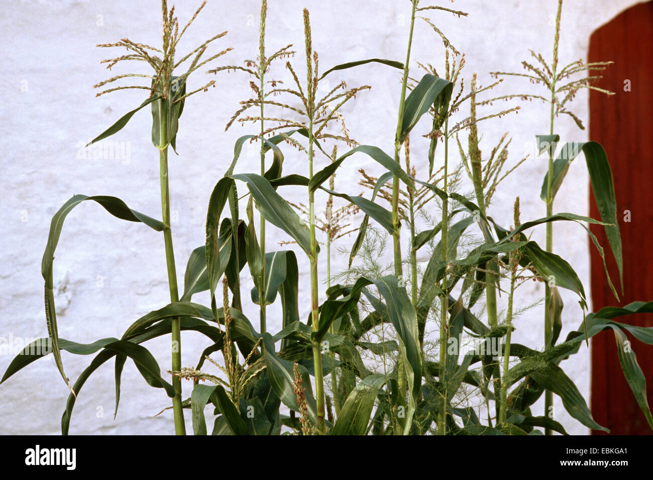 Indian corn, maize (Zea mays), blooming in a frontgarden, mal inflorescences, Germany - Stock Image
