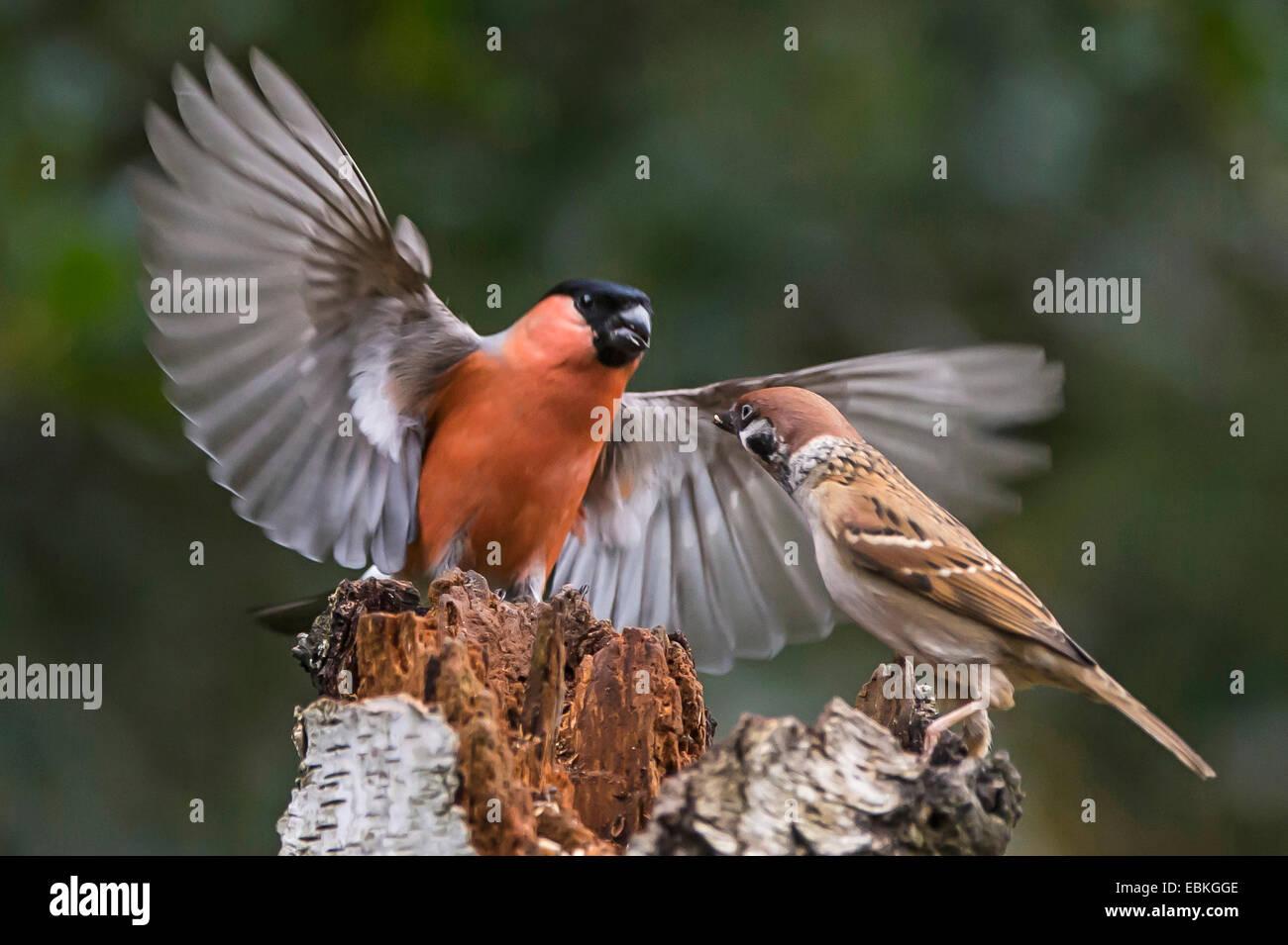 bullfinch, Eurasian bullfinch, northern bullfinch (Pyrrhula pyrrhula), fighting with field sparrow, Germany, North - Stock Image